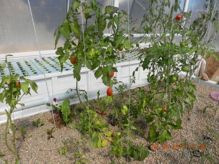 16_Tomatoes
